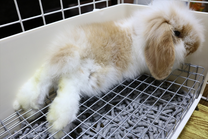 アメリカンファジーロップ(アメファジ)のみみ先生。子ウサギはとてもかわいいです。