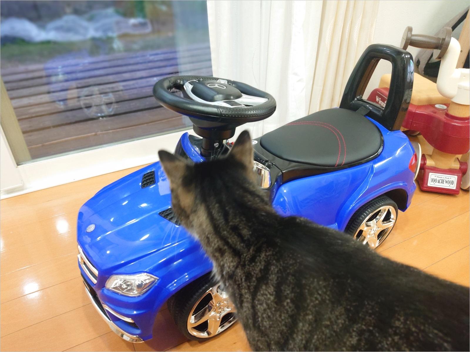 新しい車のおもちゃに興味津々のぽんちゃん。 ひかれないようにね!