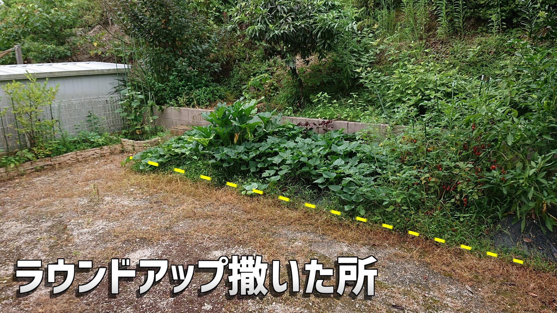 ラウンドアップ(除草剤)を撒いた所の雑草だけが枯れます。