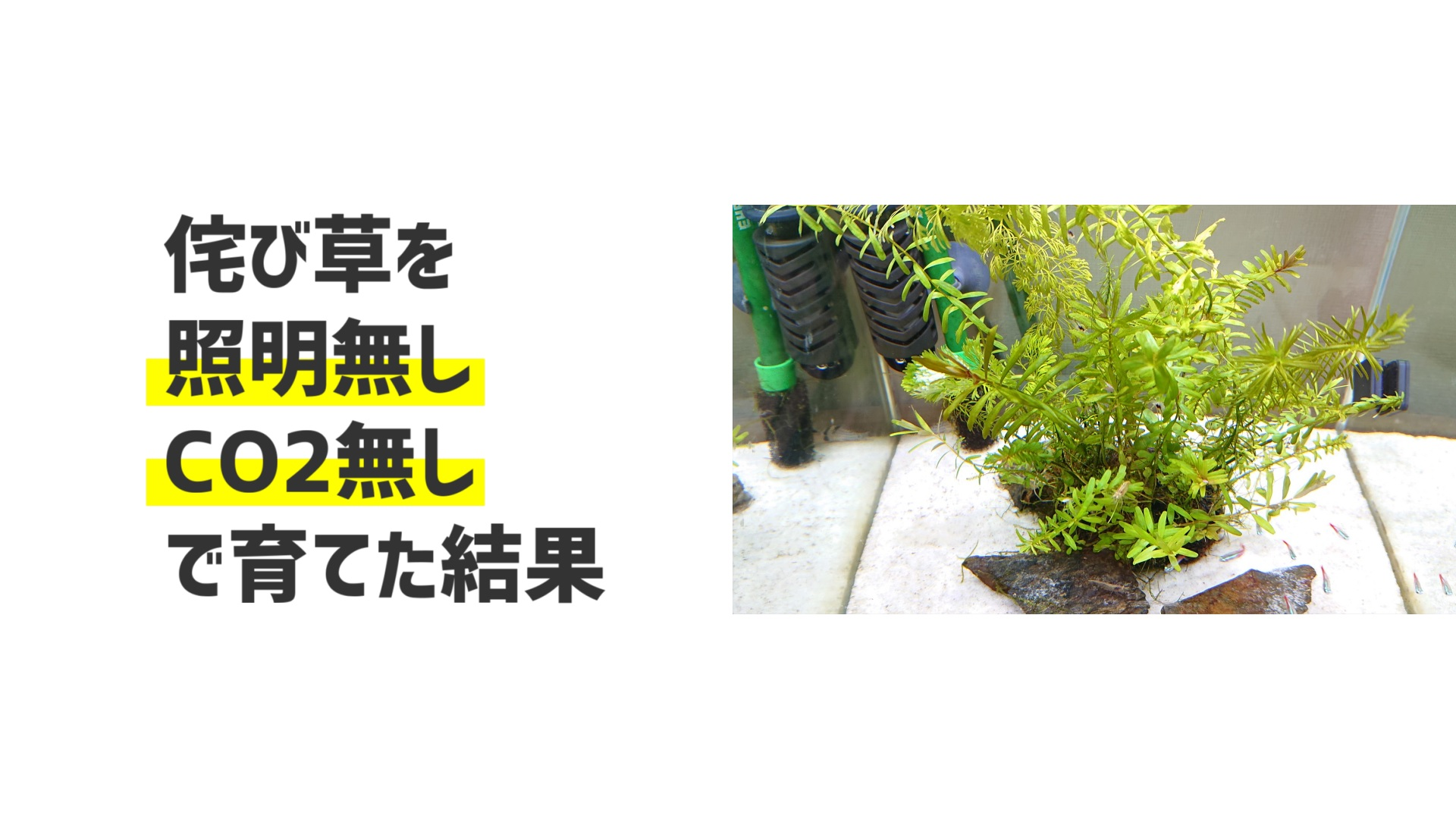 侘び草は照明なし、CO2なしで育つのか!?
