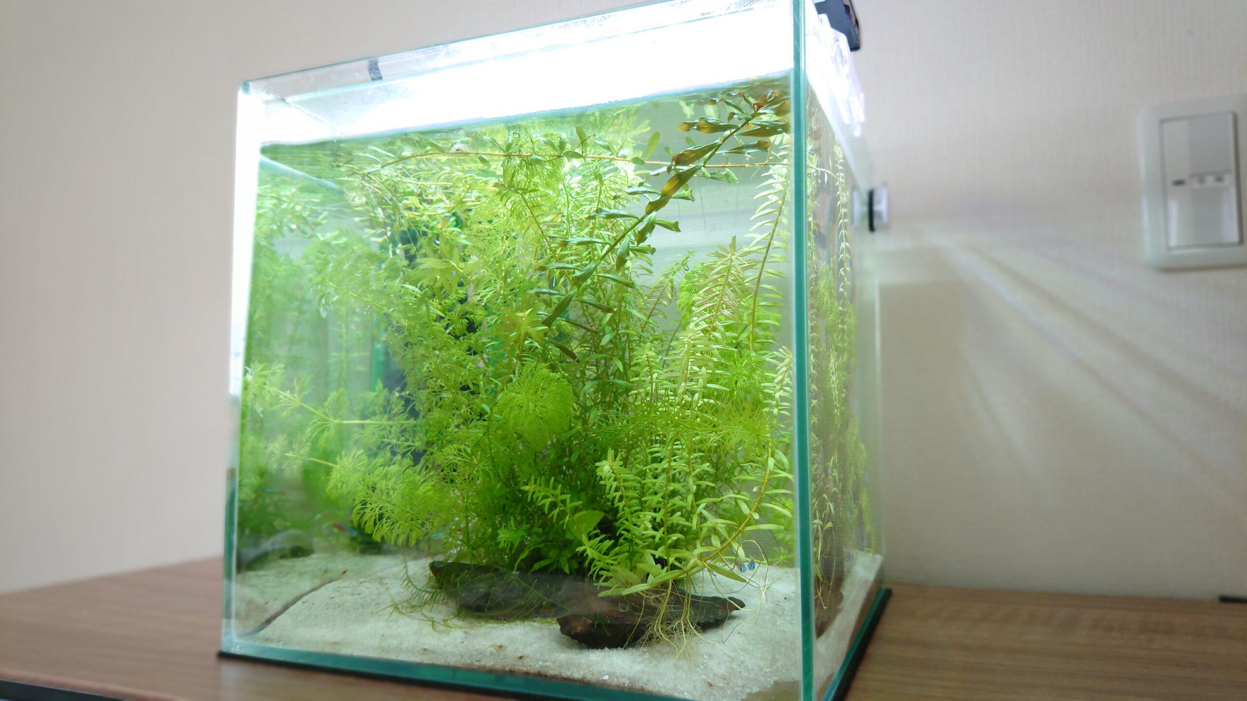 侘び草を二酸化炭素(CO2)無し、照明無しという環境で7か月間放置したが、水草は良く育った。
