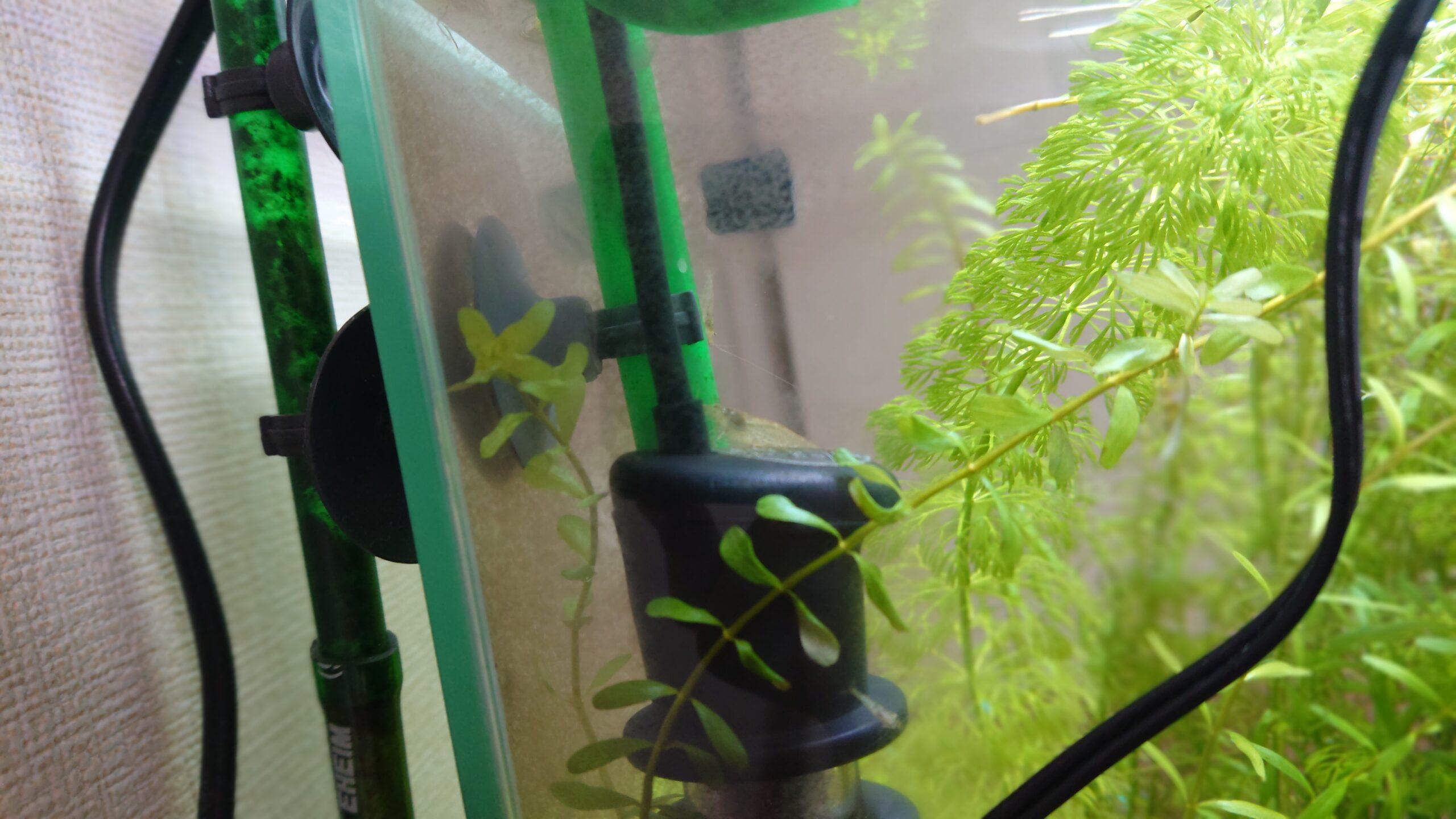 ヒーターの上でくつろぐミナミヌマエビさん。ミナミヌマエビは何世代も引き継がれています。おかげさまで藻は出てきません。