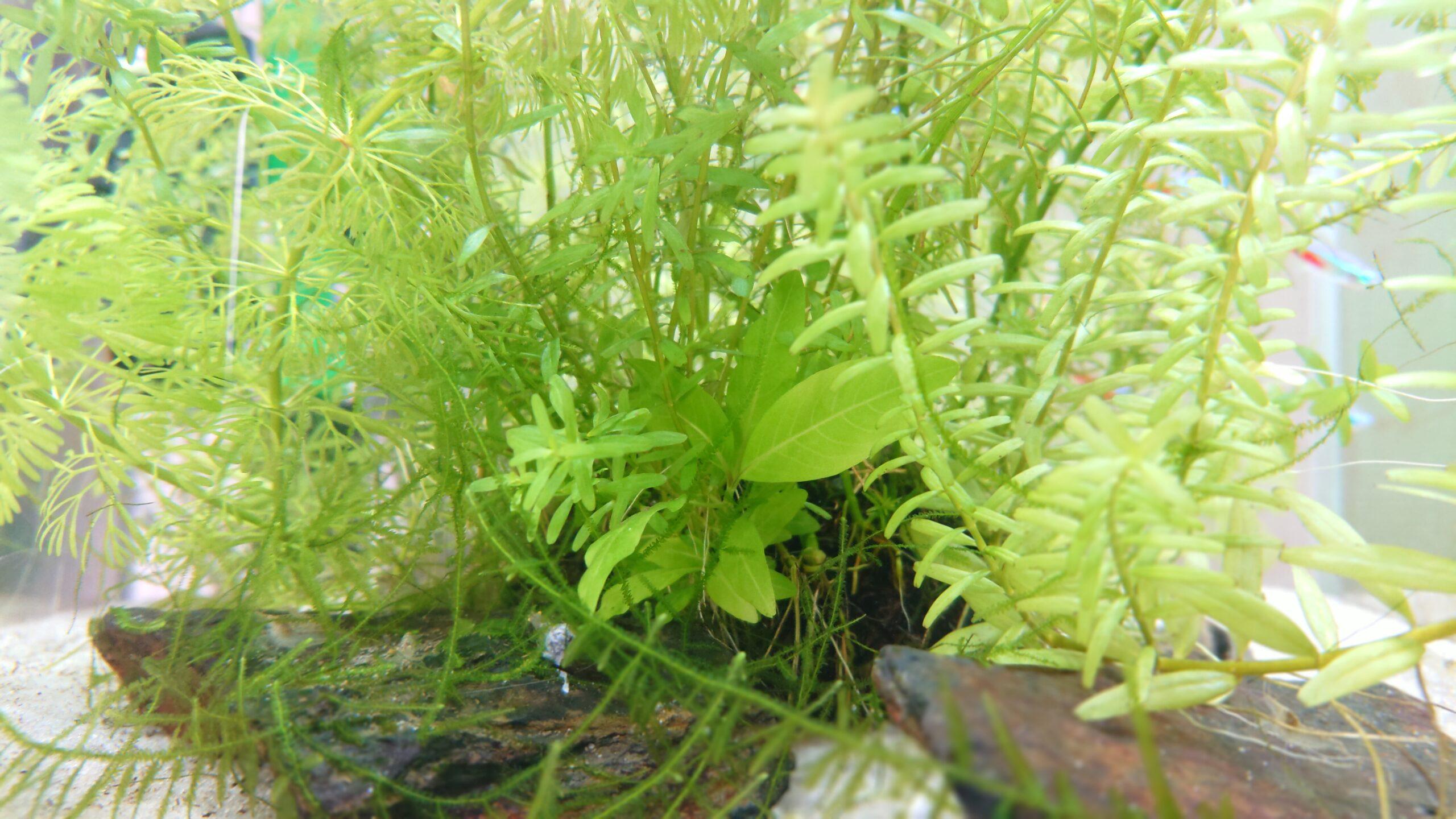 侘び草の土台になる玉のアップ。水草が生い茂っているので見えませんが、土が崩れているような様子はありません。